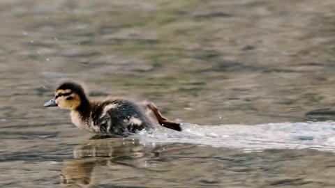 Animal Kingdom : Baby Duck Running