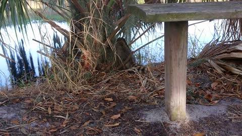 Wild raccoon walking on a trail in Florida wetland