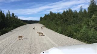 Pack of baby wolves show off their howling skills