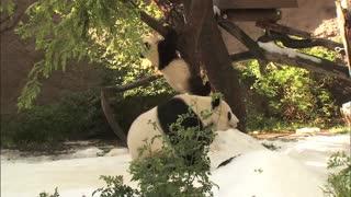 Panda Battle Royale