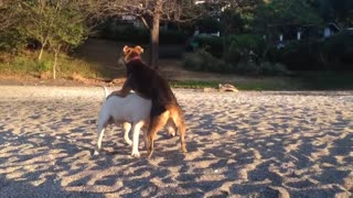 Female dog humping a male to show dominance