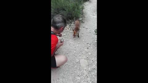 Friendly wild fox snacks on energy bar