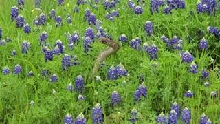 Western Diamondback Rattlesnakes Dance in Flowers