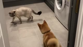 Shiba Inu overly excited to play with cat