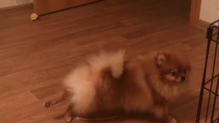 Pomeranian shows off hilarious yoga moves