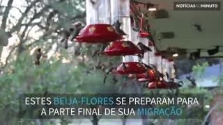 Centenas de beija-flores se alimentam antes de migrarem