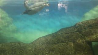 Penguins love to swim