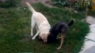 Dogs play together