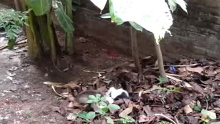 Real 2 Cats Heavy Fighting with sound - Video