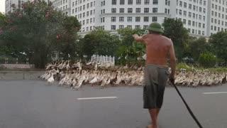 Dozens of Ducks Cause Traffic Jam