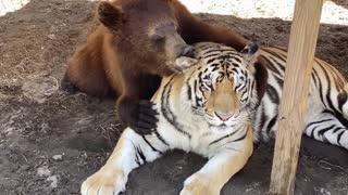 Bear Grooms His Best Friend