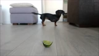 Dachshund freaks out over slice of lime