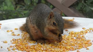 Fox squirrel eating corn seeds