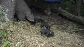 Large Black Hog Piglets