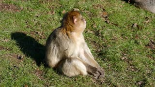 A Young Monkey Seated On Grass In The Ground 4k