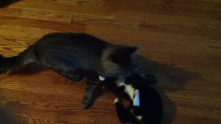 cats play fighting :)