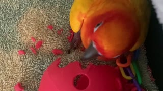 Parrot hilariously shakes his head just like a sprinkler