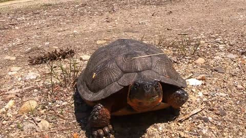 Wood Turtle on the move