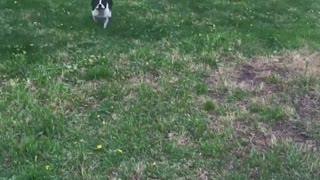 Boston Terrier gets the zoomies!