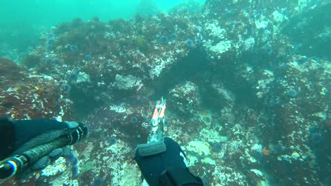 Spearfishing - Casual Dive with the Usual Critters - Monterey Area