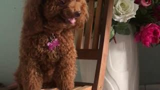 Doggo Joins Piano Performance