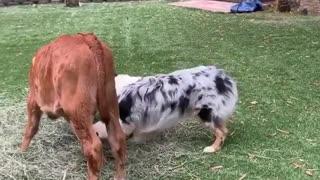 Dog playing with calf