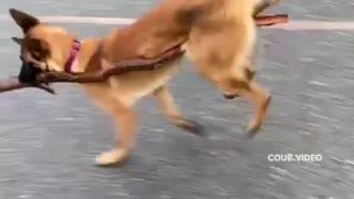 Dog walking on a stick