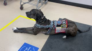 Service Dog: More Public Access in the Midst of Covid-19, She Keeps Interrupting My Narrations!
