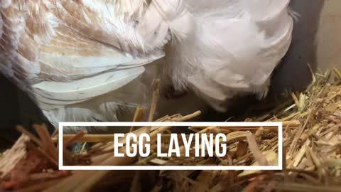 Chicken Laying Egg - Start to Finish