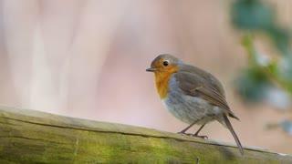 Sparrow with an orange spot