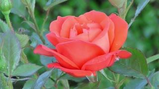 Rose Red Rose Flower