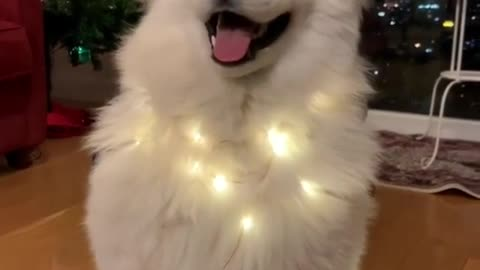 adorable dog flaps ears in rhythm with christmas jingle - black dog with rhythm