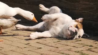 Curious ducks can't stop pestering bulldog