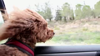 Dog in Car, How to Travel by Car with Your Dog?