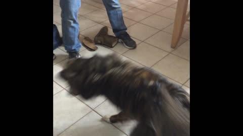 Dog chases laser pointer around kitchen