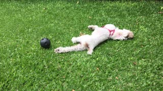 Sweet little puppy plays with small ball