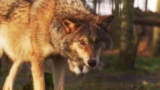 One of the most beautiful wolves in the world