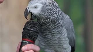 Talking Grey Parrot