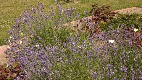 plant, field, meadow lavender, wildflower flowering plant butterflies