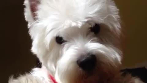 Ogi the cute Westie