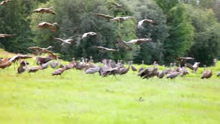 When an Eagle Attacked Sandhill Cranes in Fairbanks, Alaska on August 21, 2021
