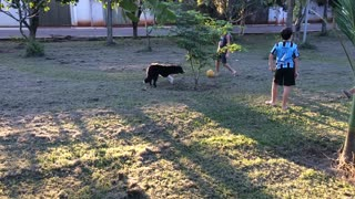 Border collie playing soccer