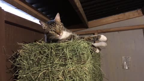 Lazy Kitty Day In The Barn