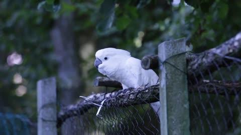 White parrot dancing