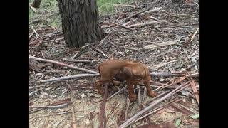 Beautiful, Bold Rhodesian Ridgeback Puppy