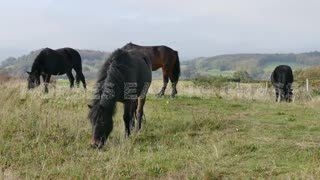 A Horses Eating Grass