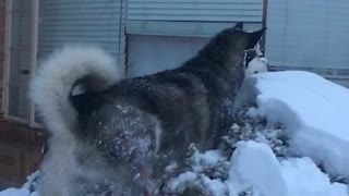 Husky jumps on top of snow covered bush