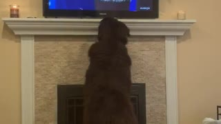 Newfoundland intensely watches dog show on TV