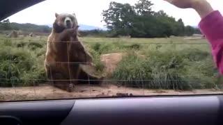 Bear saying goodbye to the girl!