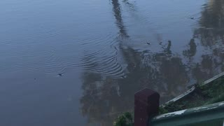 Flooding Forces Mouse Plague to Swim